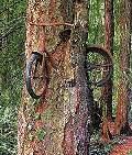 Baum frisst Fahrrad
